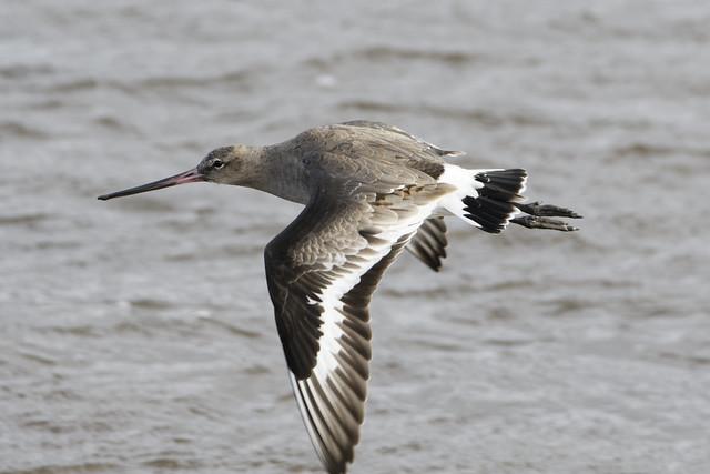 Flying Black tailed Godwit