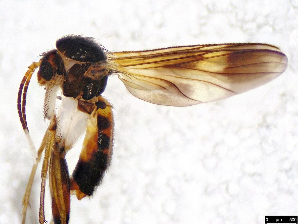 3b - Mycetophilidae sp.