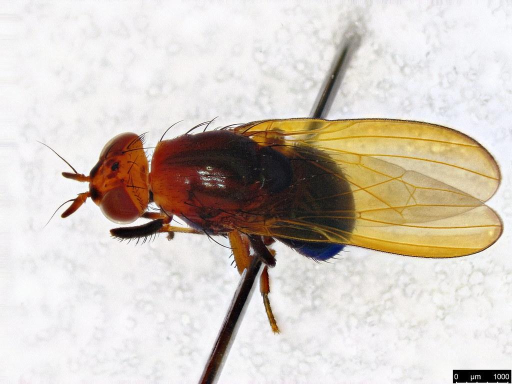 4b - Lauxaniidae sp.