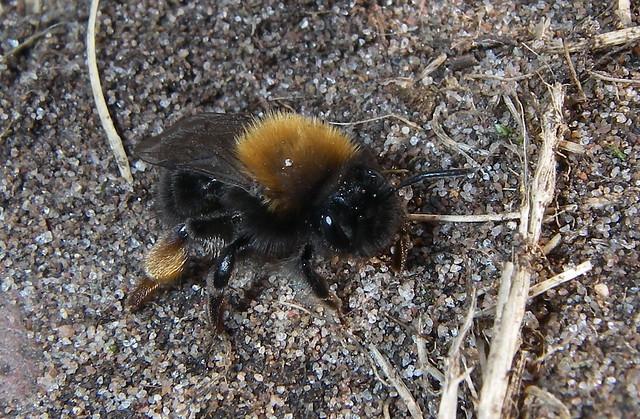 Andrena clarkella. (1 of 4, m & f)