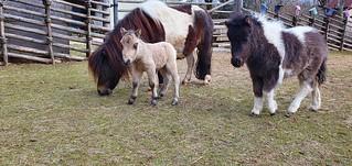 Kathrien's Fohlen ist geboren...4 Woche zu früh, aber fit