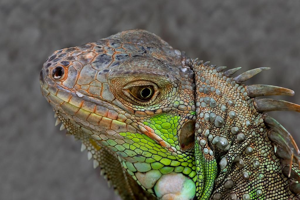 Iguana iguana - the Green Iguana