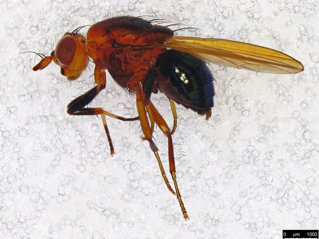 4a - Lauxaniidae sp.