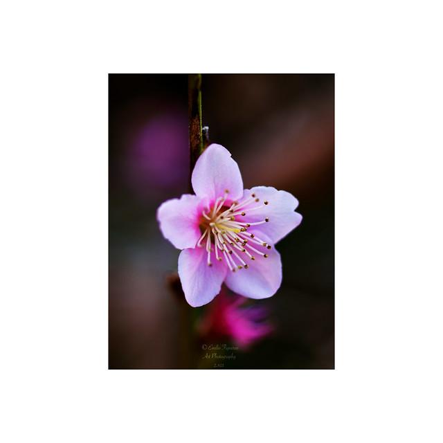 Prunus persica.
