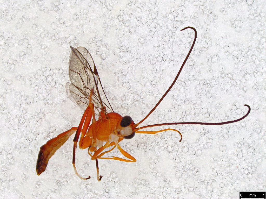 16 - Ichneumonidae sp.