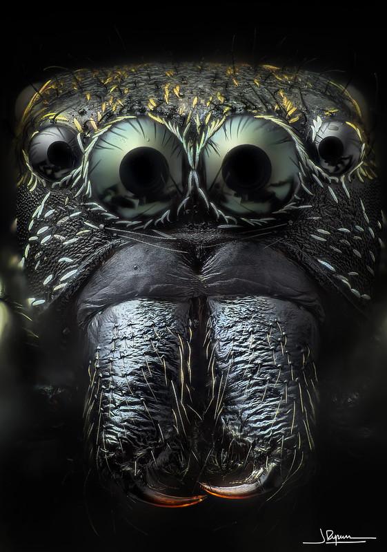 Salticidae [20x]