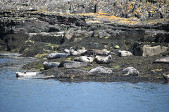 Harbour Seal Colony