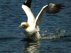 Gannet Takeoff