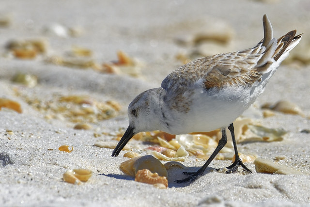 _PDN8492_Sanderling; Navarre Beach, Florida