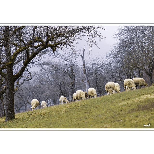 Schafe beim Grasen