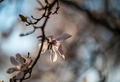 Late Magnolia in the Sun