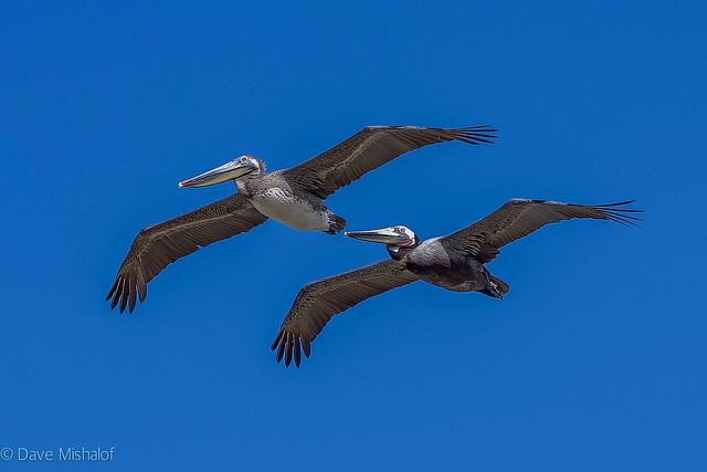 Pelicans March 23 2021-05027
