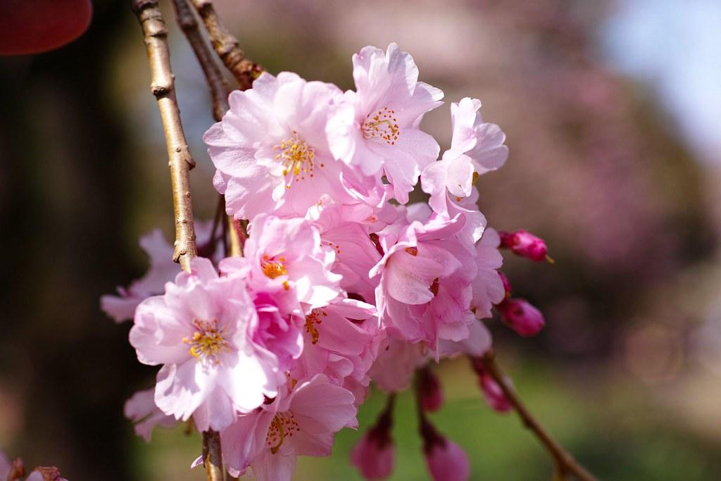 新宿御苑の桜 陽光