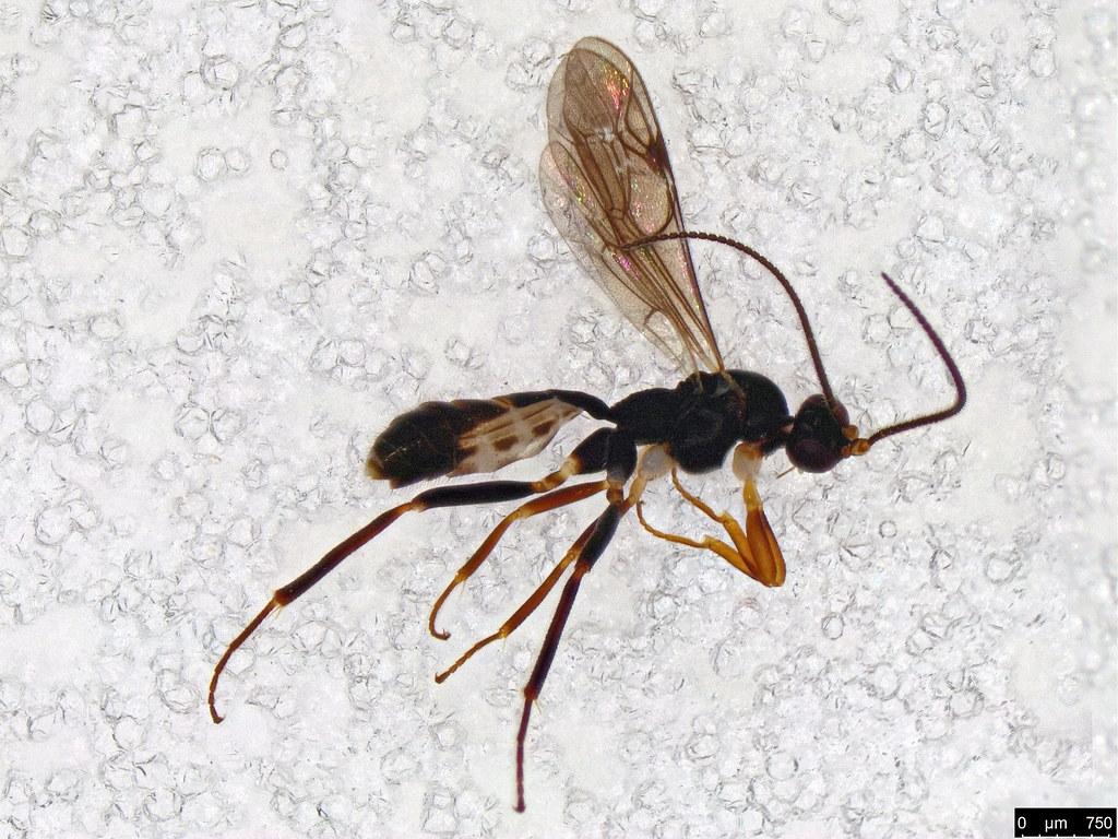 25 - Braconidae sp.