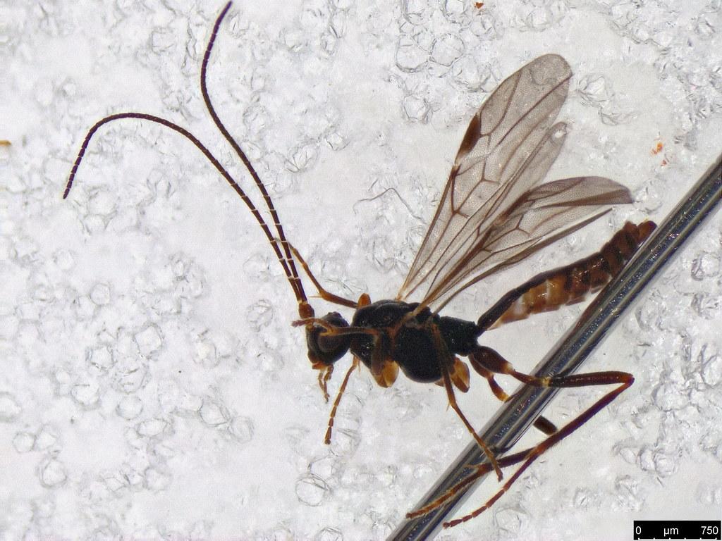 28 - Braconidae sp.