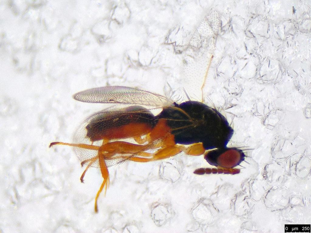 35 - Euplectrus sp.