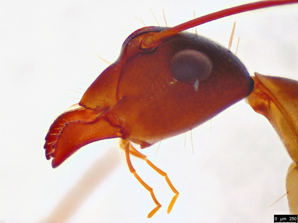 38b -  Camponotus claripes Mayr, 1876