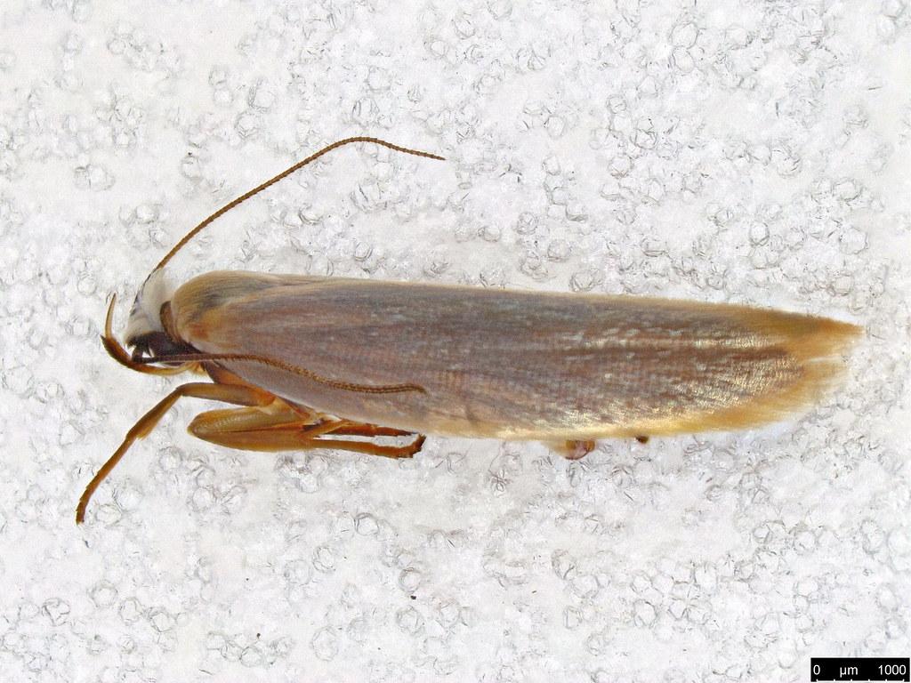 41 - Gelechioidea sp.