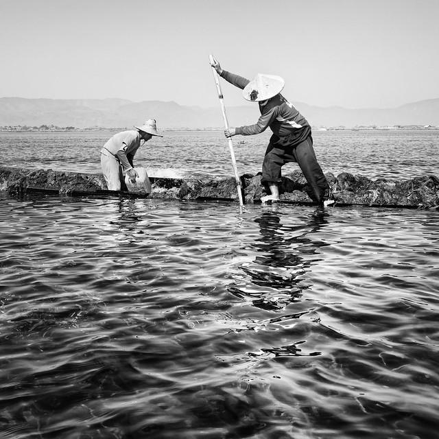 Collecte d'algues sur le lac Inlé