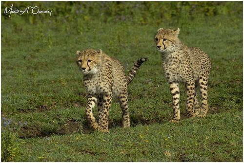 Playful Cheetah Cubs!