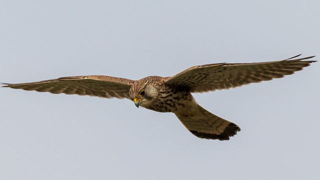 Praying kestrel
