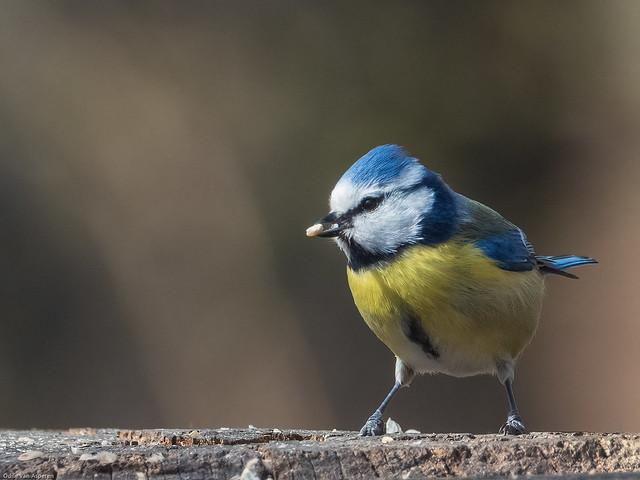 Mésange bleue/Parus caeruleus/Blue Tit