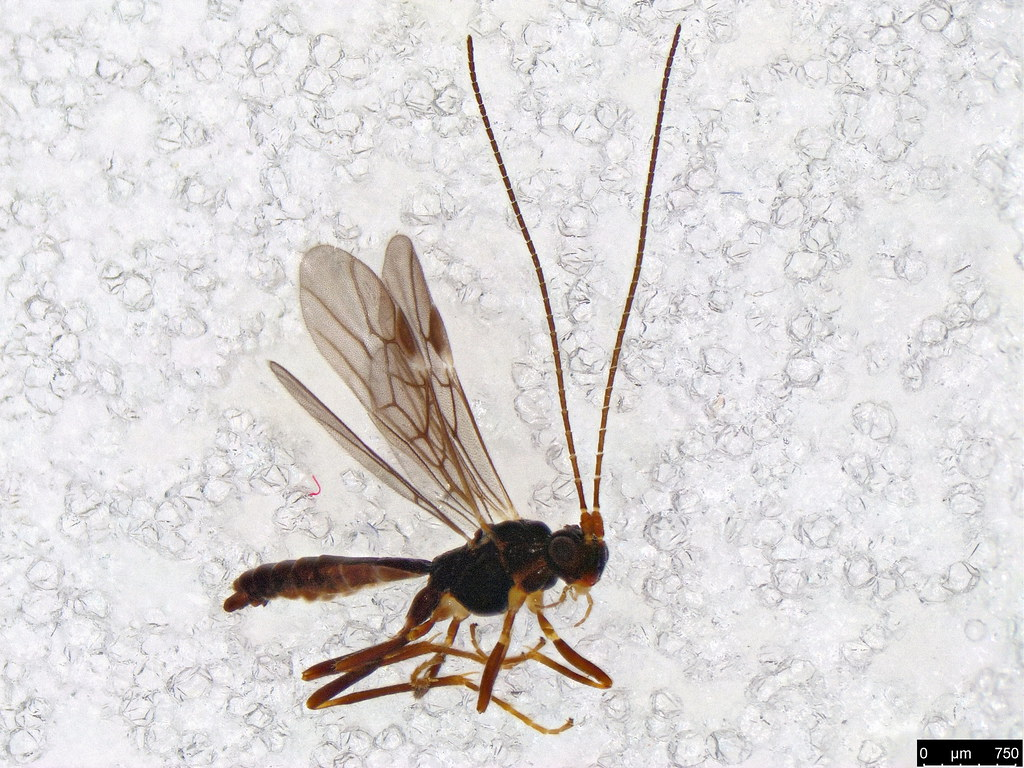 24 - Braconidae sp.