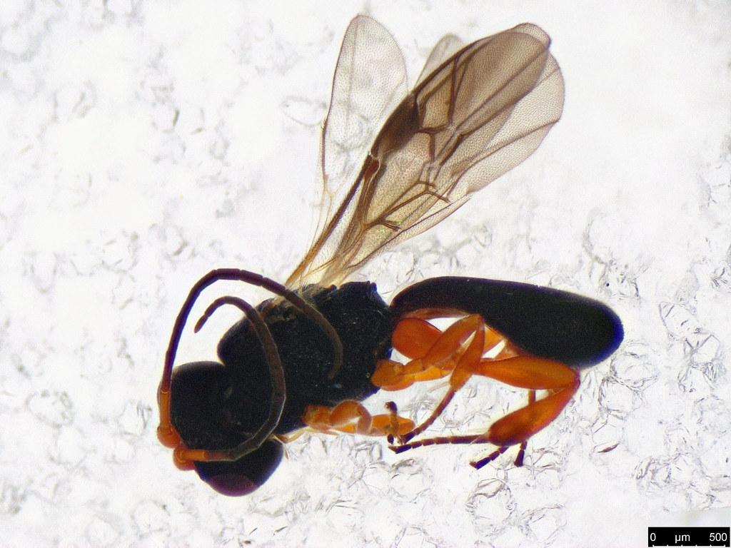 32 - Cheloninae sp.