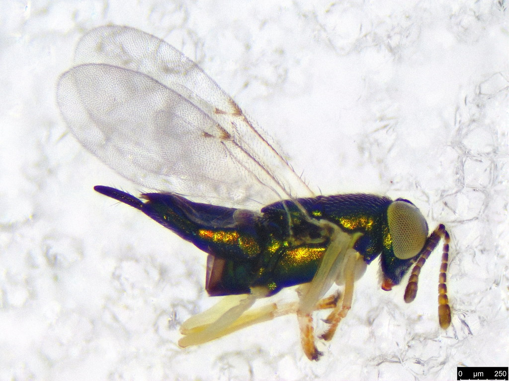 36 - Chalcidoidea sp.