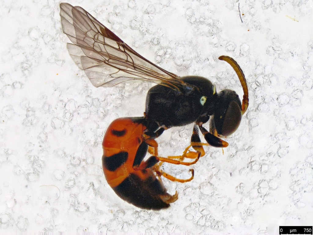39 - Hylaeus littleri (Cockerell, 1918)