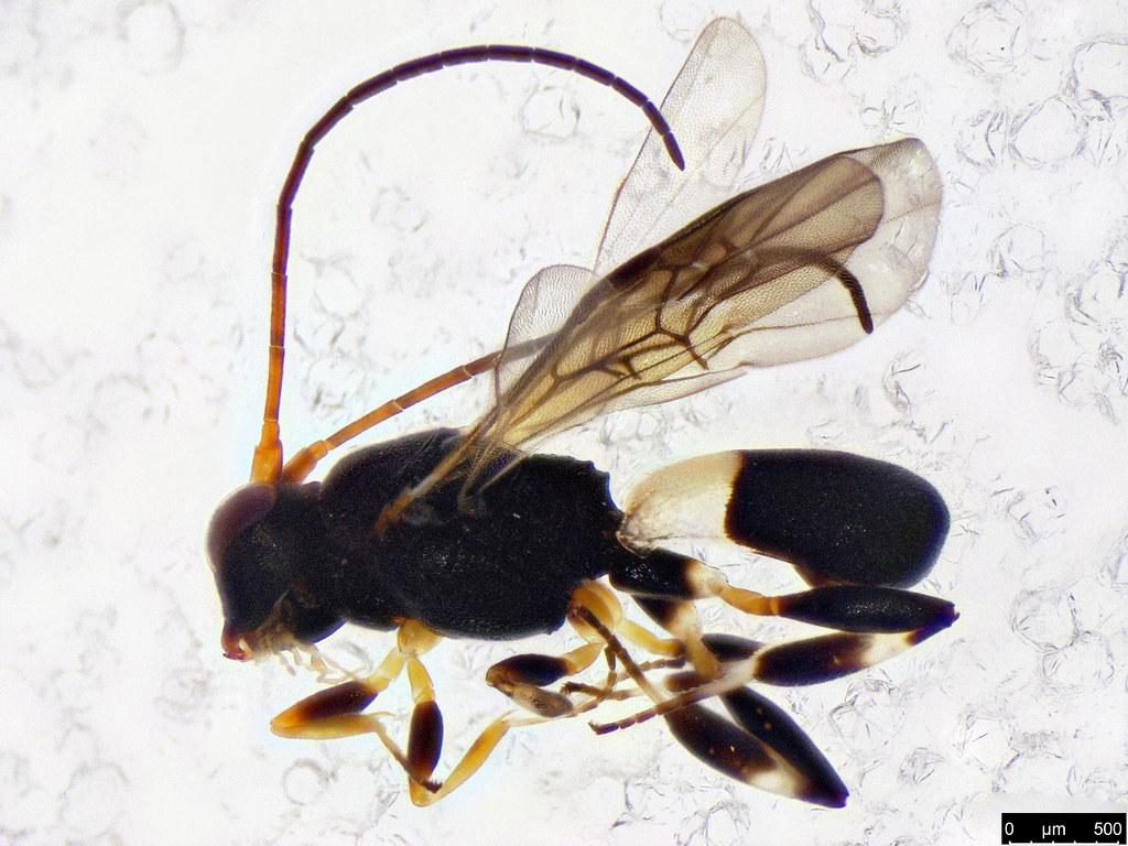 29 - Cheloninae sp.