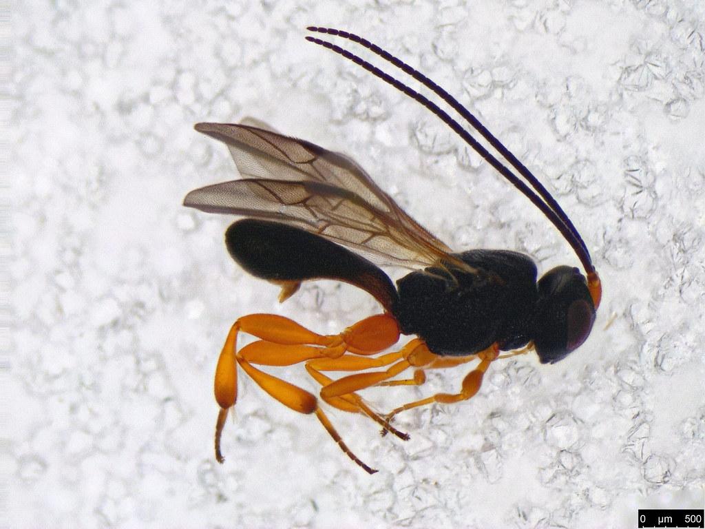 30 - Cheloninae sp.