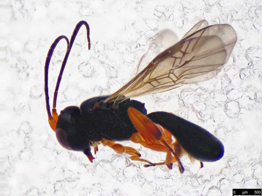 31 - Cheloninae sp.