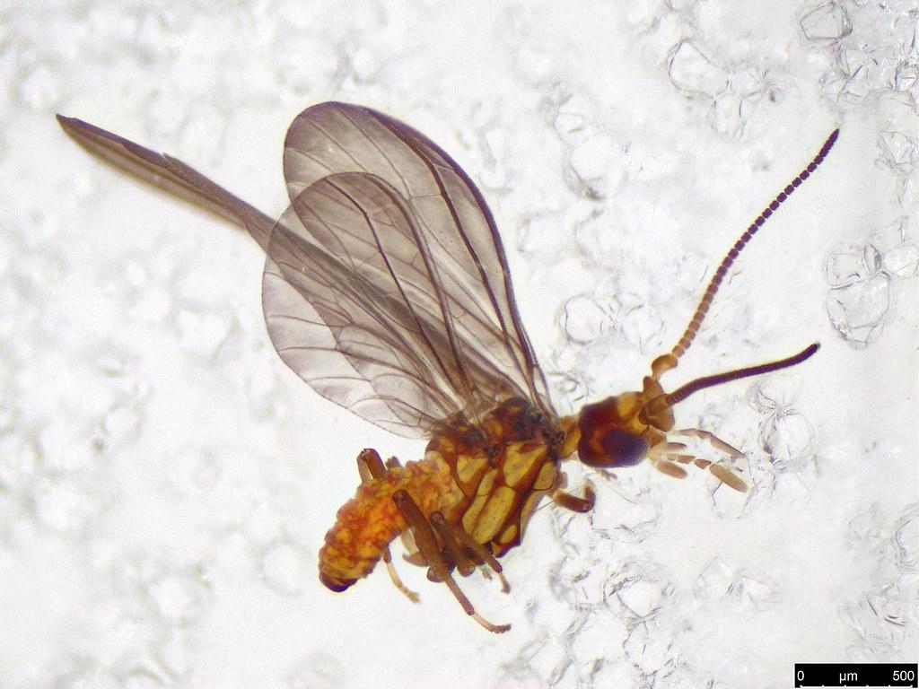 40a - Coniopterygidae sp.