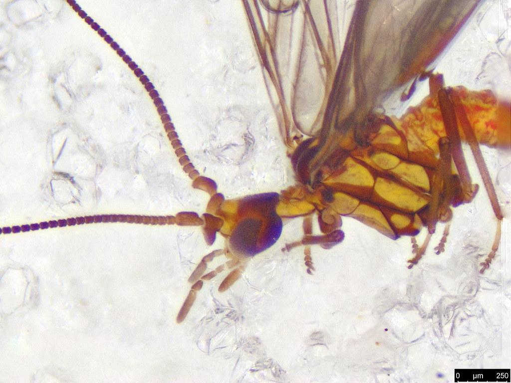 40c - Coniopterygidae sp.