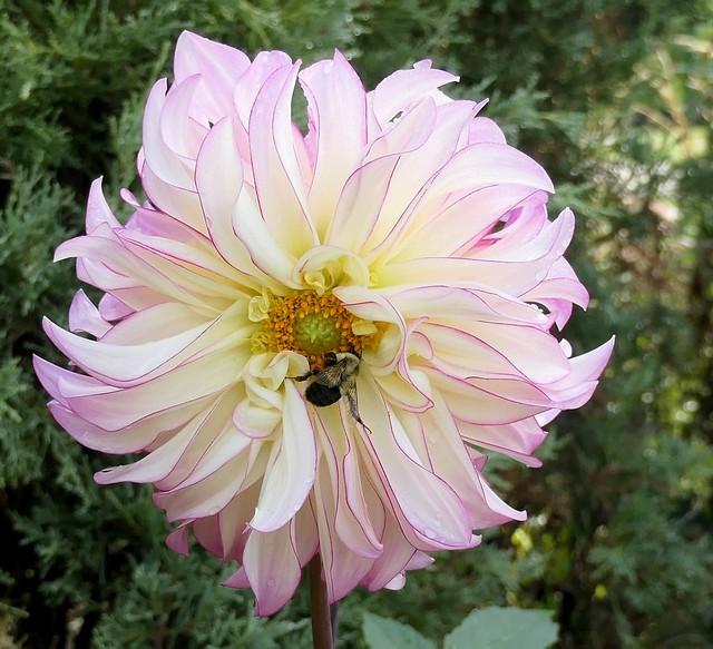 Beautiful Dahlia and Bee