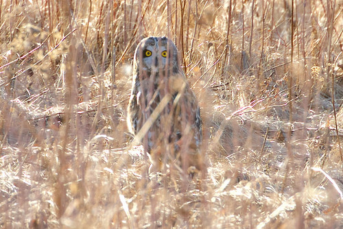 Short-eared Owl - Burger Park - © Jeanne Verhulst - Mar 20, 2021