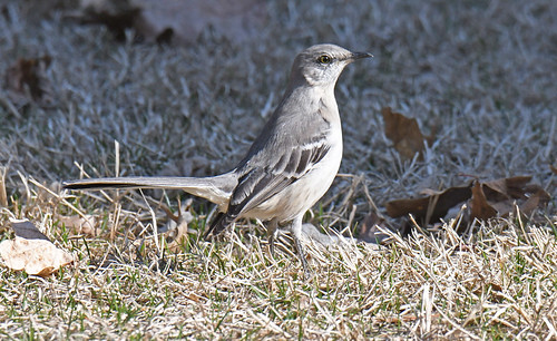 Northern Mockingbird - Holy Sepulchre Cemetery - © Dick Horsey - Mar 22, 2021