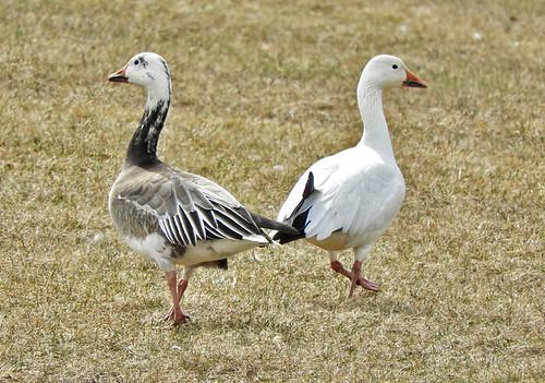 Snow Goose - North Ponds Park - © Eunice Thein - Mar 23, 2021