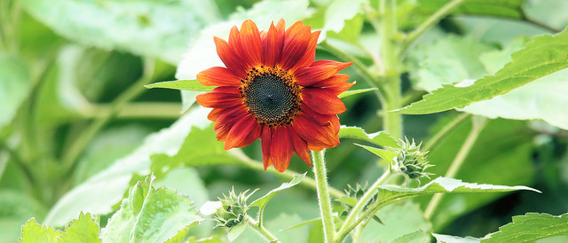 Sunflower 'Prado Red'