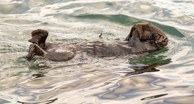 Otter 20