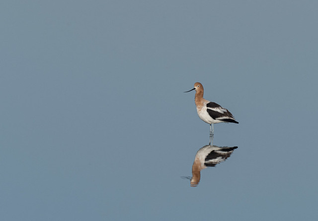 Reflected Avocet