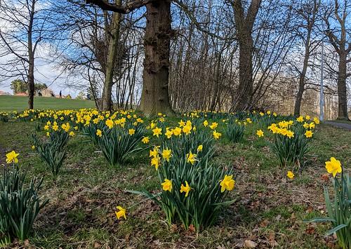Daffodils, Balbirnie
