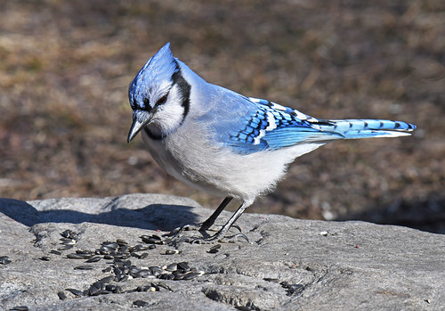 Blue Jay - Mendon Ponds Park - © Dick Horsey - Mar 19, 2021