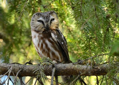 Northern Saw-whet Owl - Owl Woods - © Alan Bloom - Mar 21, 2021