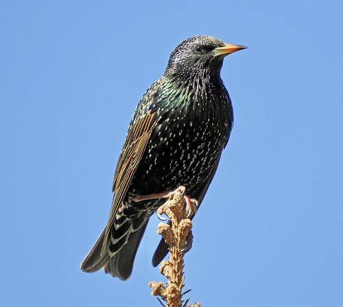 European Starling - Irondequoit - © Eunice Thein - Mar 21, 2021