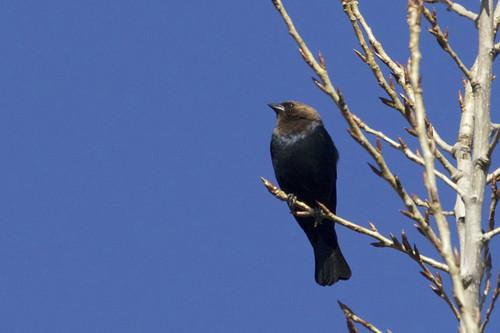 Brown-headed Cowbird - Brickyard Trail - © Jeanne Verhulst - Mar 21, 2021