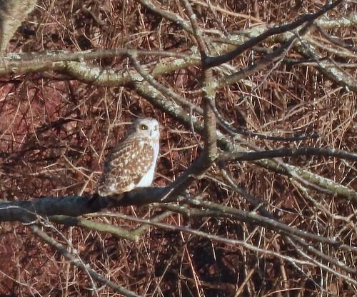 Short-eared Owl - Burger Park - © Candace Giles - Mar 22, 2021
