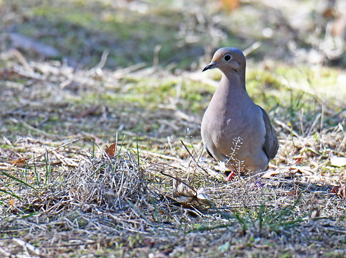 Mourning Dove - Holy Sepulchre Cemetery - © Dick Horsey - Mar 22, 2021