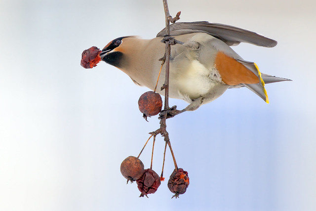 Waxwing-Another P.O.V.